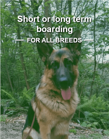 German Shepherd in bushland setting